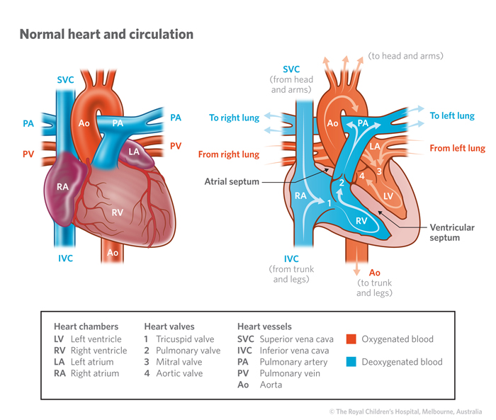 Cardiology   The Normal Heart