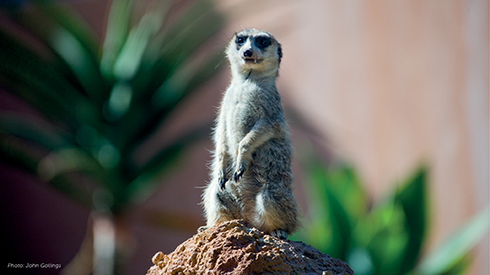 Picture of Meerkats at RCH