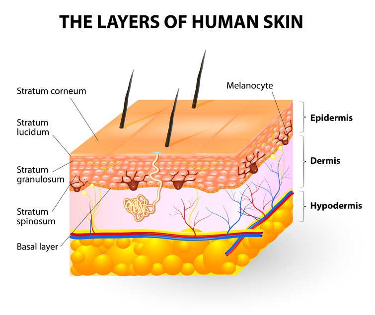 Neonatal Layers of skin